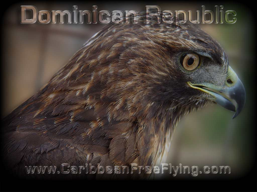 Red tail hawk (Guaraguao in Dominican Republic)